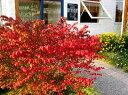 ニシキギ コンパクタ  3号ポット世界三大紅葉樹のひとつです♪コンパクタは矮性品種なのでコ...