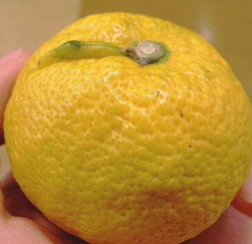 ジャバラの苗驚きの『じゃばらパワー』!花粉症やアトピー性皮膚炎の抑制効果が証明された注目の健康フルーツ!じゃばらの苗