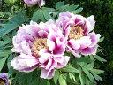 牡丹 笑獅子八重咲きの大輪品種♪藤紅色に白覆輪が入る美しいお花です♪ボタン 笑獅子 4.5号 - ファーム フローラル