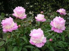 シャクヤク濃いピンクとクリーム色の3段咲き☆洋風のお庭にも違和感のない愛らしい印象の芍薬で...