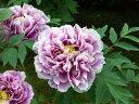 ※花終わり※牡丹 鎌田錦皆様に人気の花色です!藤色と白い縁取りのツートーンが優美さを感じさせます♪ボ