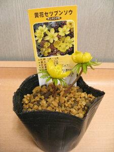 黄花節分草光沢のある黄色い花が愛らしいです!春の訪れを告げる花♪キバナセツブンソウ 【山...