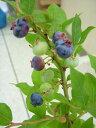 ブルーベリーの苗【オレゴンブルー】 5号ポット目にやさしい健康食品!!育てやすさも魅力です...