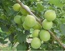 梅の苗 【翠香】 3.5号 梅酒に最適!梅酒・加工ジュース用に育種された新品種です!翠香で作...