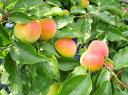 南高梅の苗 日本一の味をご自宅で!梅のトップブランド品種『南高梅』肉厚で柔らかい果肉が魅...