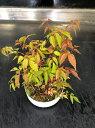 ハゼの木 4号浅鉢古くから日本で親しまれてきた紅葉の美しい植物です!ハゼノキ 4号浅鉢 櫨の木 黄櫨の木リュウキュウハゼ ロウノキ トウハゼ ナツハゼ ハゼ
