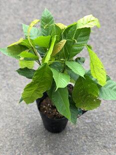 カカオトリニタリオ【ココアの木】5号ポットインテリア用観葉としても楽しめます♪他品種よりも耐病性に優れ、果実が大きく種子もおおきめですカカオトリニタリオ