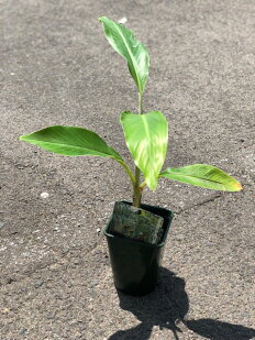 アイスクリームブルーバナナの苗4号ポットバニラ+バナナの濃厚な甘さにもちもちとしたやみつき食感!食用バナナの中で最も耐寒性が強く栽培しやすい品種で-5℃まで耐えられます♪ばななバナナ果樹苗