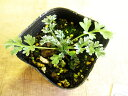 【ハーブ】ワームウッド防虫効果あり!!花壇の縁取りにおすすめです!ワームウッド 3号ポット...