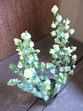 【ハーブ】オレガノ ケントビューティー うつむき加減に咲く薄緑のお花がとっても愛らしい☆園芸用として人気の品種です!オレガノ ケントビューティー 3号ポット 【花ハーブとカラーリーフ】