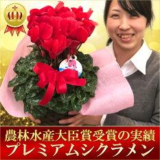 冬の花の代表!!ギフトに喜ばれる一品です♪シクラメン【根本園芸】