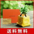 電報 結婚式 誕生日 お祝い電報 祝電 送料無料 観葉植物 【ガジュマルイエロー メッセージ】