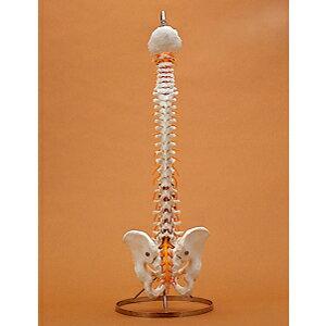 脊椎骨盤模型(SR-312) ドイツ・ソムソ社製【smtb-s】:健康美容用品専門店Frontrunner