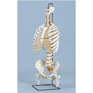 胸骨付脊椎骨盤模型(SR-313) ドイツ・3B社製【smtb-s】:健康美容用品専門店Frontrunner