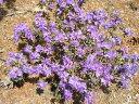 青紫系ミニシャクナゲ『R.impeditum』R481、2016年9月中旬、蕾付きです。