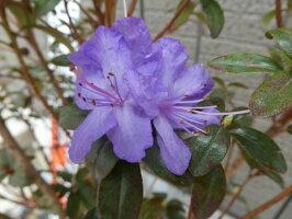 青紫系ミニシャクナゲ『ラスティックメイド』Z045形をよくするために剪定してありますそろそろキレイな芽が伸びてきます商品画像はサンプルです。大きさ40-50cm前後2019年6月20日撮影です