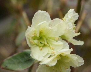八重咲きヒカゲツツジ『スバル』R130