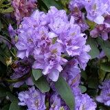 【蕾なし】八重咲きシャクナゲ 『Fastuosum Flore Pleno』R4070 樹高15cm 接木1年目