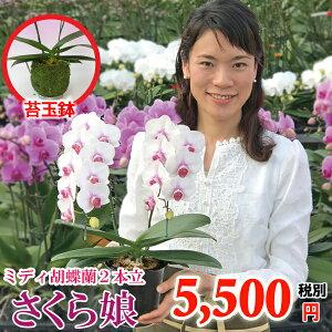 気軽なプレゼントご自宅用に胡蝶蘭2本立ち