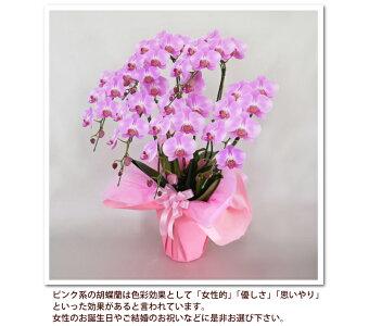 中輪胡蝶蘭ジェシーズガール5本立ちお誕生日各種ギフト・プレゼントに