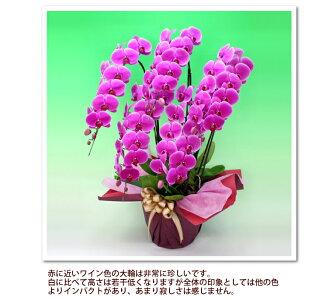 胡蝶蘭5パターン白・ピンク・白赤・ワイン・ミックス5本立ち胡蝶蘭55輪以上ゴージャスタイプ