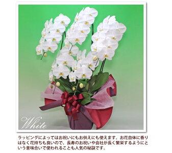 お求めやすい価格の胡蝶蘭5本立ち40輪以上4色