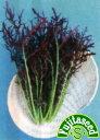 【藤田種子】からし菜 赤からしミズナ野菜のタネ