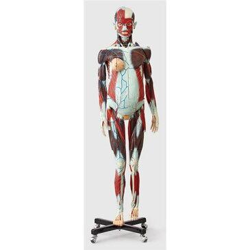 人体解剖模型 〔女/等身大100分解〕 精密度模型 神経・脈管系表示 カバー付き J-101-1【代引不可】【北海道・沖縄・離島配送不可】