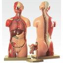 トルソ人体モデル/人体解剖模型 〔20分解〕 J-113-3【代引不可】【北海道・沖縄・離島配送不可】