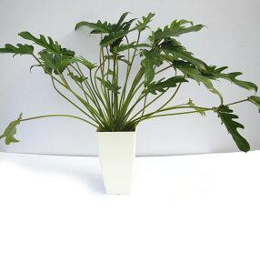 葉が大きすぎず軽やかですクッカバラ6号角鉢