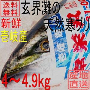 天然 寒ブリ 長崎県壱岐産 4kg〜4.9kg