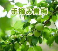 【送料無料】福島県産青梅はじめてセット手摘みもぎたて梅酒梅ジュース梅干しおうち時間手づくり