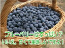 無農薬・無化学肥料で育てている自然な栽培にこだわった[ブルーベリー]生ブルーベリー1kg【RC...