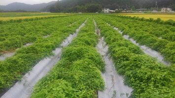 丹波篠山産山の芋の栽培中の写真です。