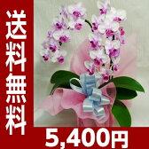 ミディ(ミニ)胡蝶蘭(2本立ちピンク系)【送料無料】【あす楽対応】