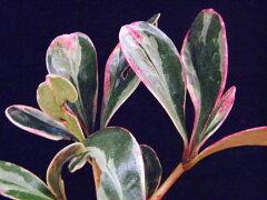 人気の花木。斑入り モッコク白覆輪(紅隅)小上苗