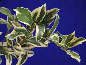 人気の花木。斑入り ヤブニッケイ白(乳白)覆輪極小苗