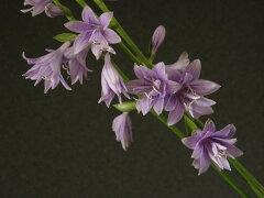 (新)完全八重咲タチギボウシ