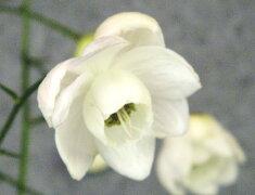 レンゲショウマ青軸白花小苗