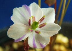 タッタ草[竜田絞り]白弁紫絞花小上苗