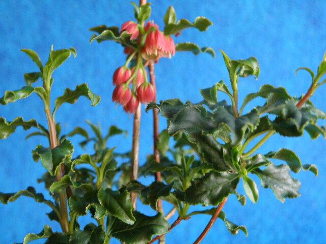 紅ドウダン(ツツジ) [踊り子] エボシ 波打葉 小苗来季開花中苗1,600円もございます