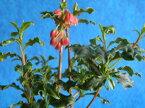 紅ドウダン(ツツジ) [踊り子] エボシ 波打葉 極小苗来季開花中苗1,600円もございます