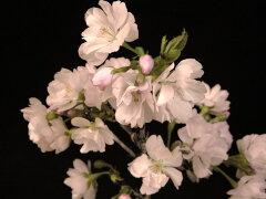 大山桜[八重山古志]八重咲接中苗