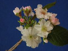 四季桜[小原(オバラ)八重]秋〜春咲多弁花接小上苗