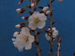 豆桜八房.寸梢小苗