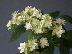 アメリカノリノキ[スターバースト]八重てまり咲中苗
