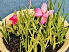 斑入(乳黄~白散縞)アッツ桜[六條錦]数珠植苗珍品・花木・山野草