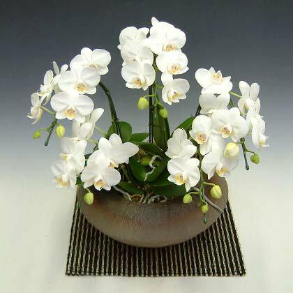 和鉢仕立て胡蝶蘭ミディー系5本立ち保障アマビリス(白色)