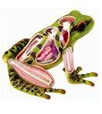 ■【25%OFF】アオシマ立体パズル 4D VISION 動物解剖シリーズ カエル解剖モデル