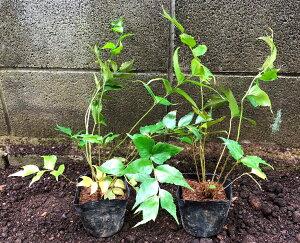 オニヤブソテツ5Potセット(652円/Pot・送料無料)シダ植物 常緑 日陰 ガーデニング